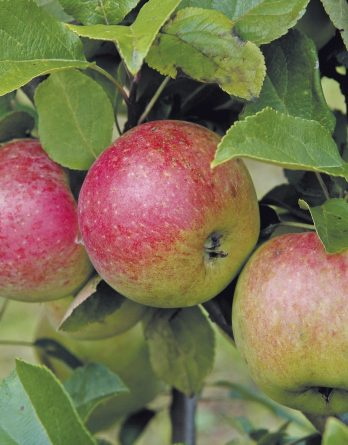 Äpple 'Amorosa' CO