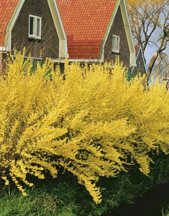 Forsythia 'Lynwood Gold' CO