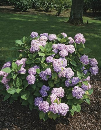 Hortensia blå 'Nikko Blue' CO