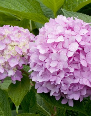 Hortensia rosaröd 'Endless Summer' CO
