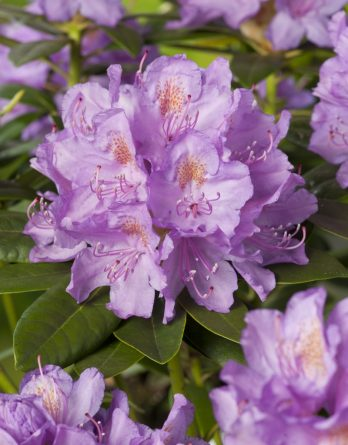 Park Rhododendron 40-50 cm, Lila