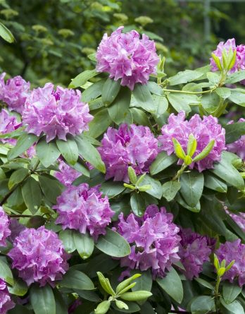 Park Rhododendron 40-50 cm, Rosalila