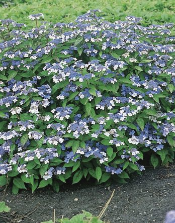 Purpurhortensia 'Bluebird' CO