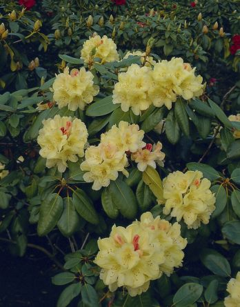 Rhododendron hybrid 'Flava'