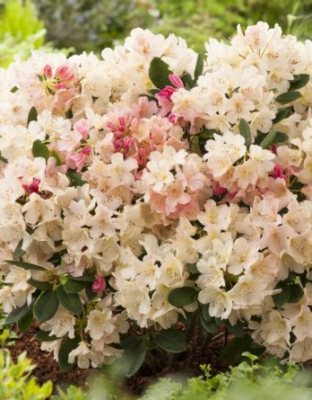 Rhododendron hybrid 'Percy Wiseman'