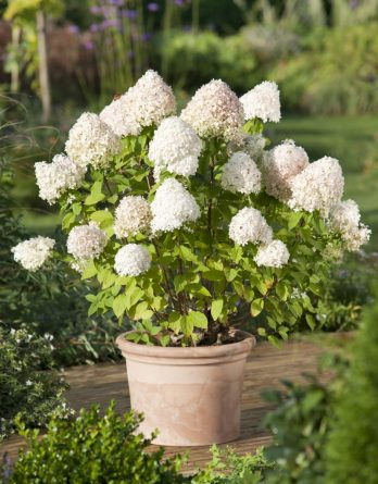 Vipphortensia 'Limelight' CO